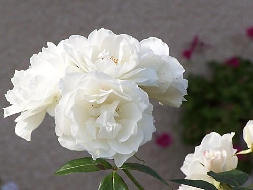 fleurs000
