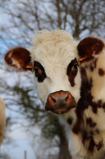 04 - Portraits de vaches en couleurs