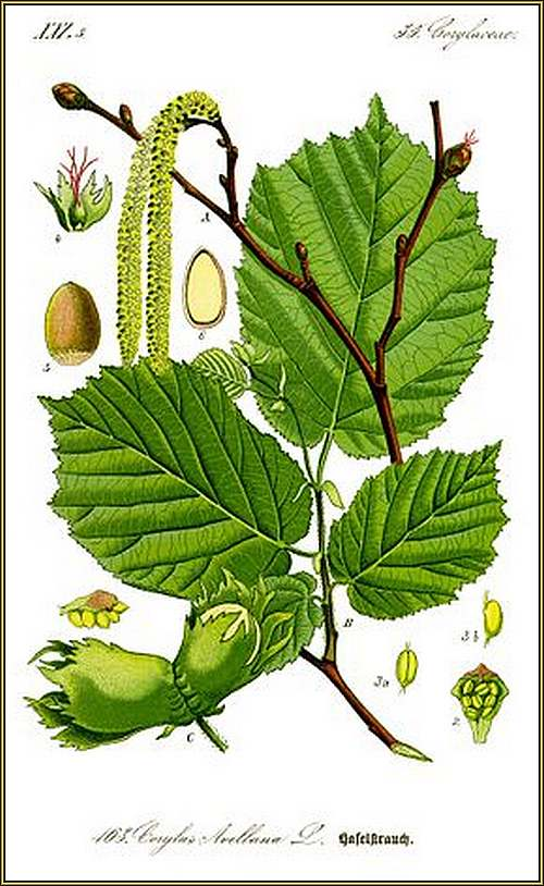 Vertus médicinales des arbres : NOISETIER