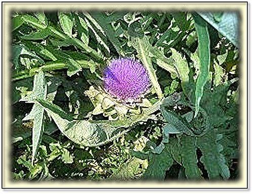 fleur artichaut
