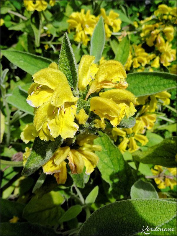 Photo de Sauge jaune arbustive (flore)