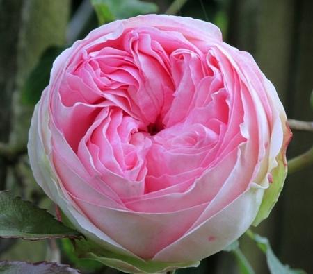 Une rose.