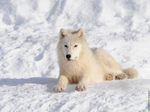 à Propos du  loup  arctique au   Canada