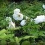 Lumière discrète sur des pétales de rose blanche (2)