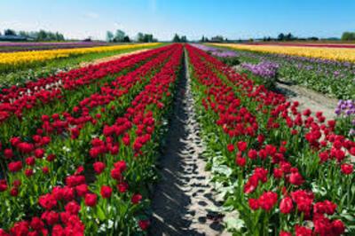 Festivals de tulipes d'Amérique du Nord