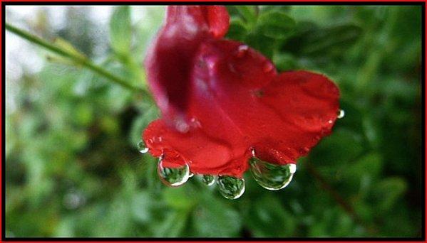 goutte-fleur-rouge.jpg