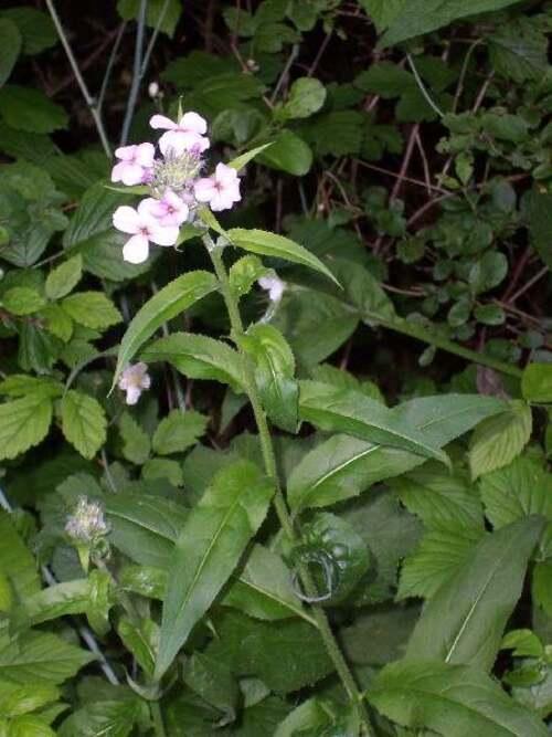 Vertus médicinales des plantes sauvages : Julienne des dames
