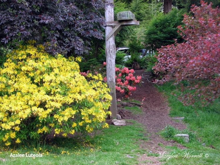 Nouvelles du Canada 176 : Azalées et rhododendrons
