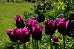 Tulipes Passionale5