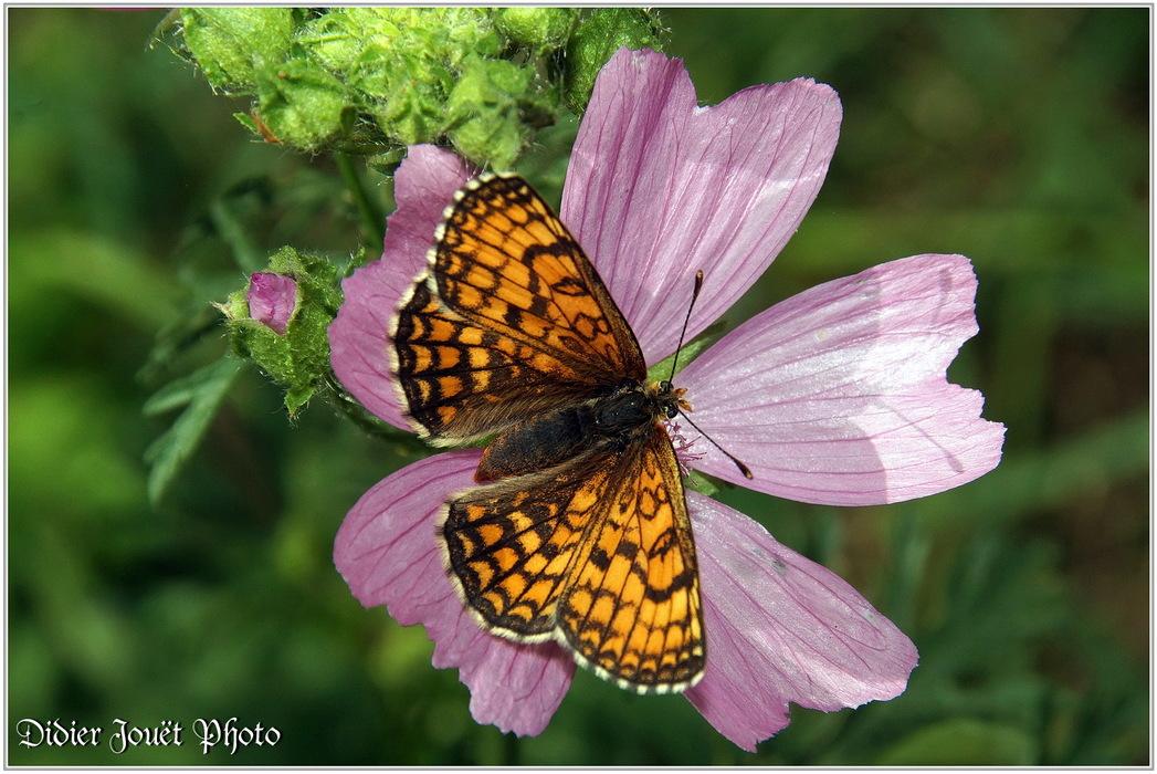 Mélitée des Centaurées / Melitaea phoebe - Cinclidia phoebe
