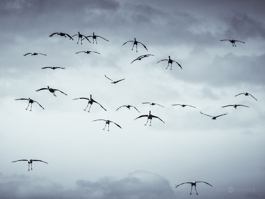 Cranes have an amusing way of flying, legs down.