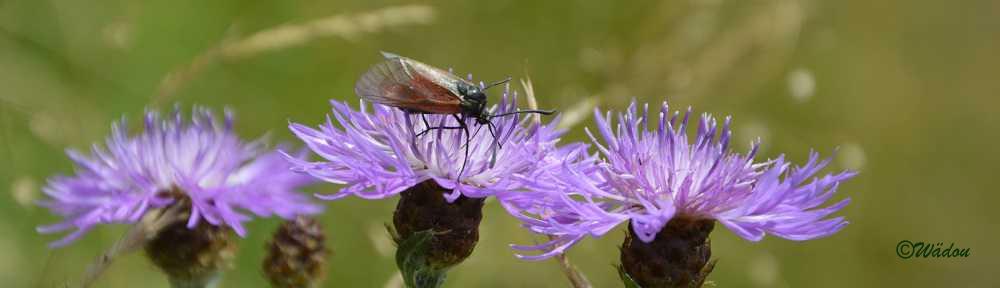 La Zygène diaphane ou Zygène des boucages (Zygaena minos) Zygaenidae