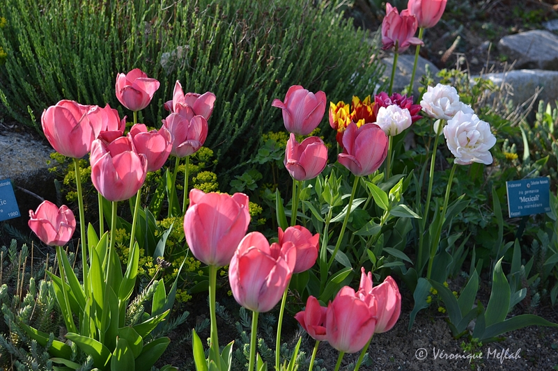 Parc Floral de Paris : des tulipes de toutes les couleurs