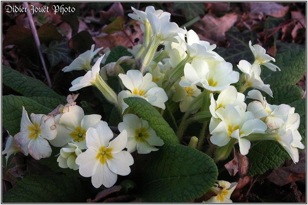 Primevère Acaule / Primula vulgaris