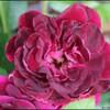 burgundy ice