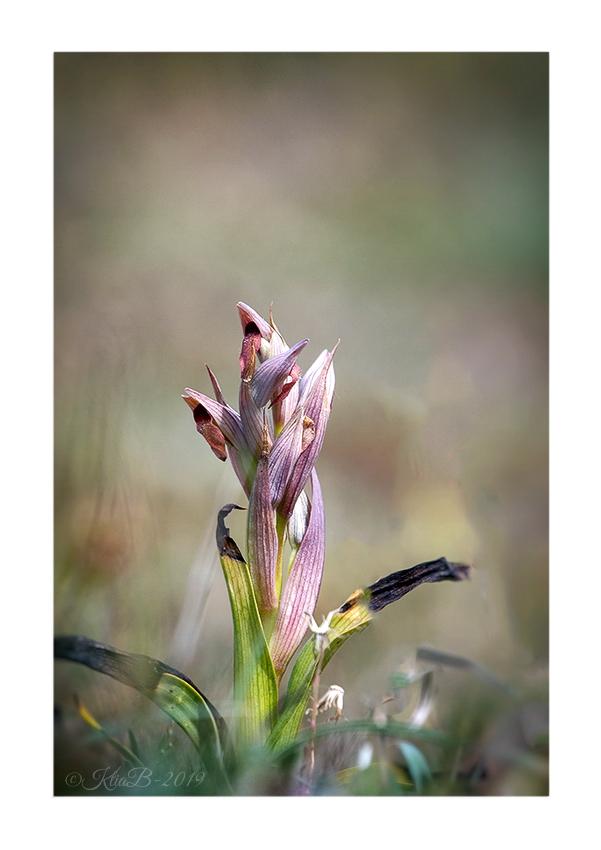 Sérapias à petites fleurs