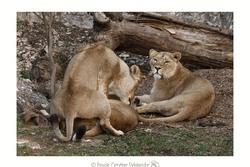 Lionnes d'Asie