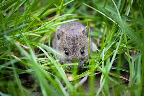La souris est en retraite...