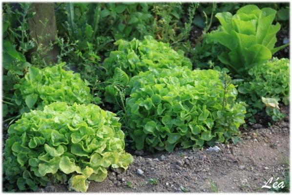 Jardin-0588-salades.jpg