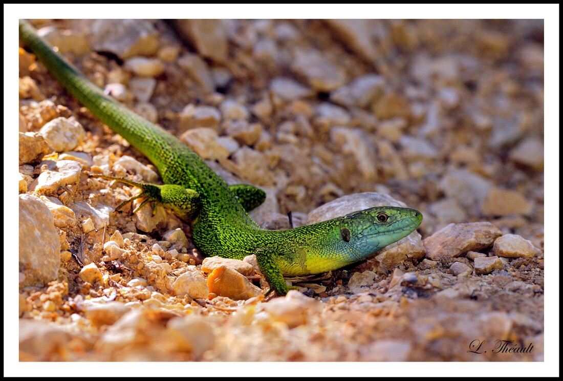 Lézard vert occidental