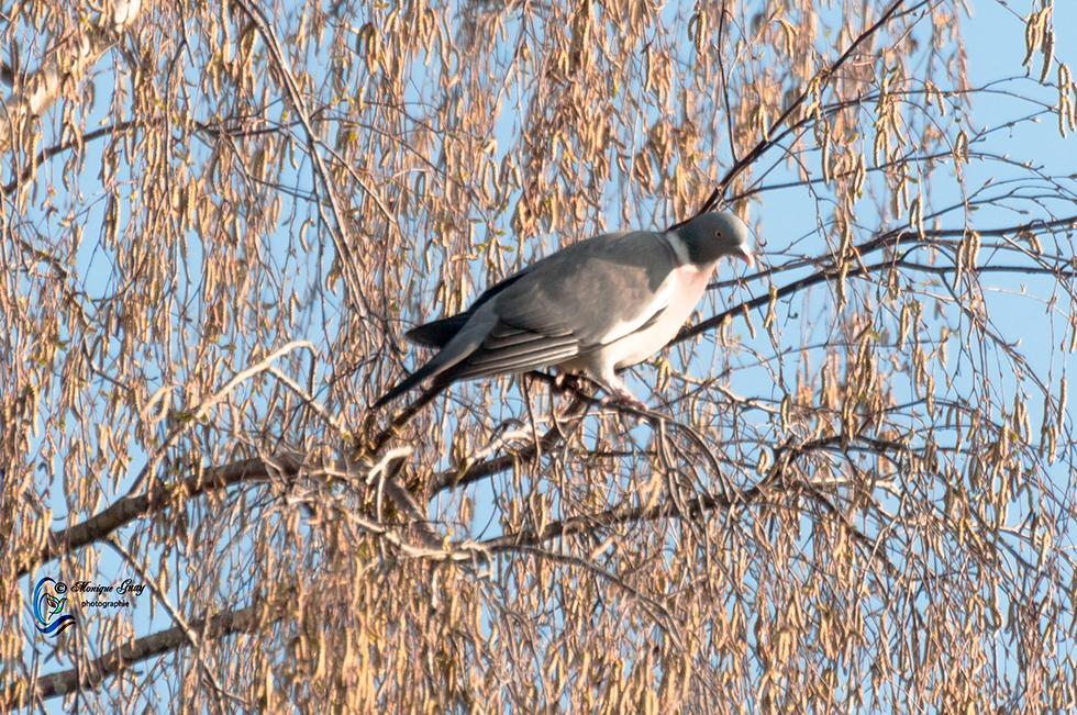 Pigeon ramier perché