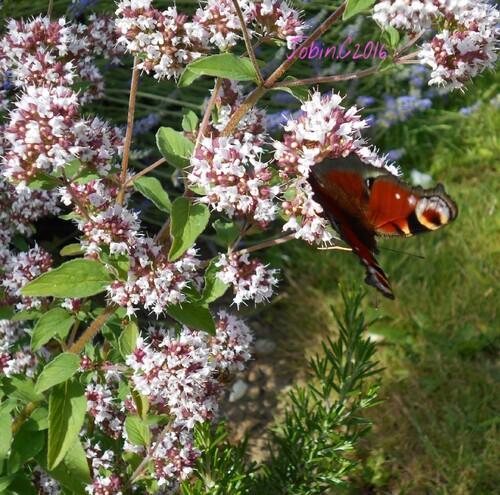 Marjolaine et Papillons