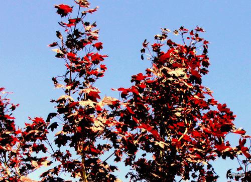 L'arbre au feuillage rouge ...