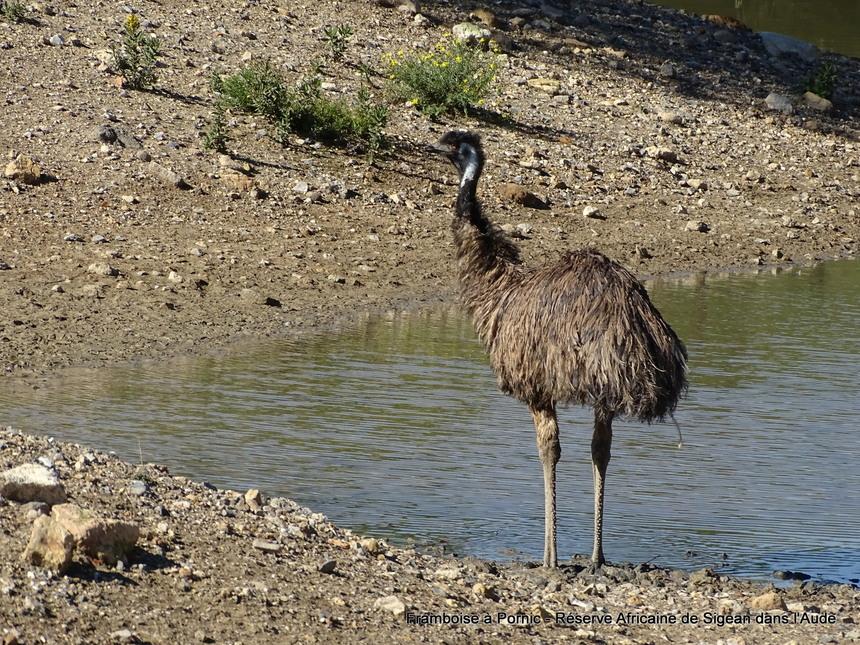 Réserve Africaine de Sigean dans l'Aude -1- Emeu