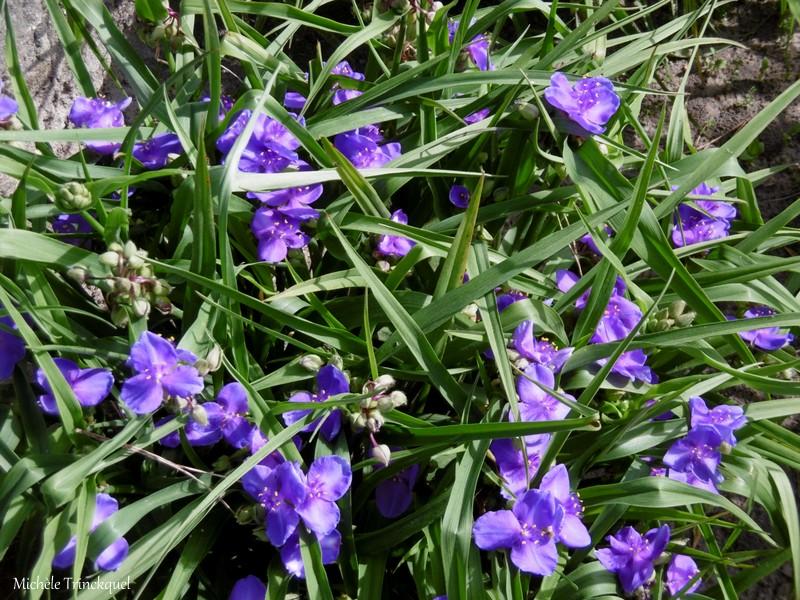 Une balade fleurie dans mon village, le 7 mai....