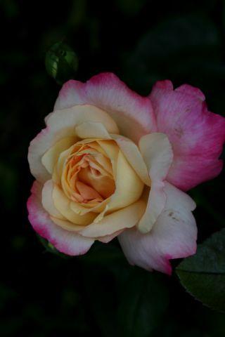 Roseraie - Août (4/4)