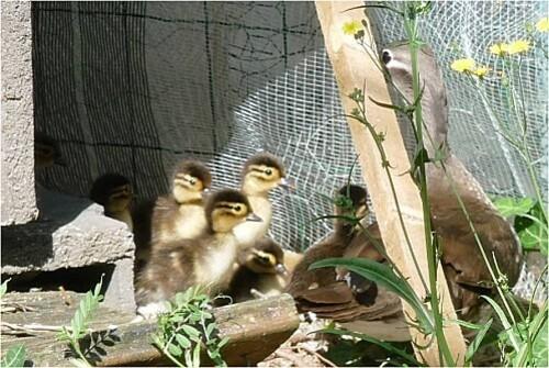 Les canards mandarins le 10.06.2011