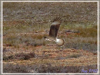 Le vol du Caracara chimango - Terre de Feu - Argentine