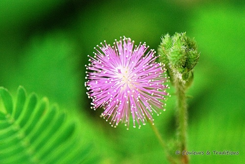 Mimosa Pudica - Plante sensitive
