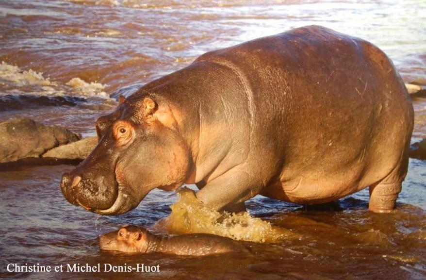 hippopotame-et-son-petit-18.jpg