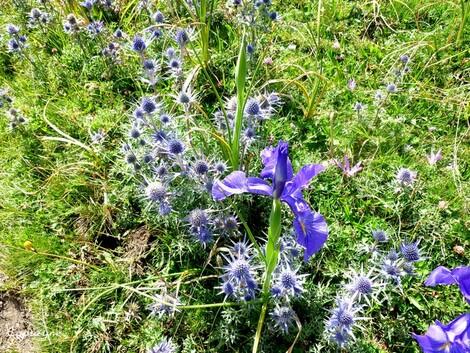 Pyrénées, la vallée d'Ossau : 1 - les vallons aux iris bleus