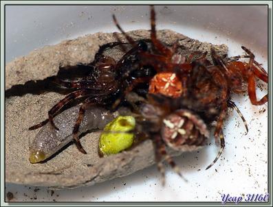 La saga de la Pélopée courbée (Sceliphron curvatum), guêpe chasseuse d'araignées (partie 3) - Verdun-sur-Ariège - 09