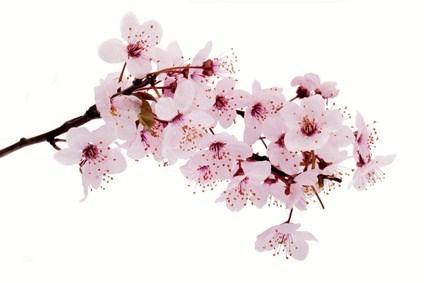 Gamme Cerisier Du Japon By Body Shop Cosmetic Avenue