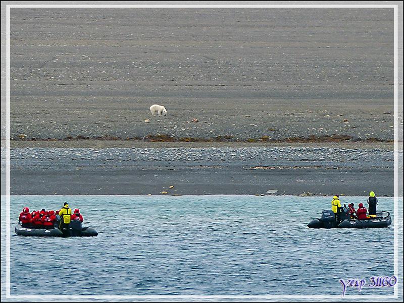 Vers 13 h 45 heures, notre repas est pris, l'ours blanc, quant à lui, mange toujours - Creswell Bay - Somerset Island - Nunavut - Canada