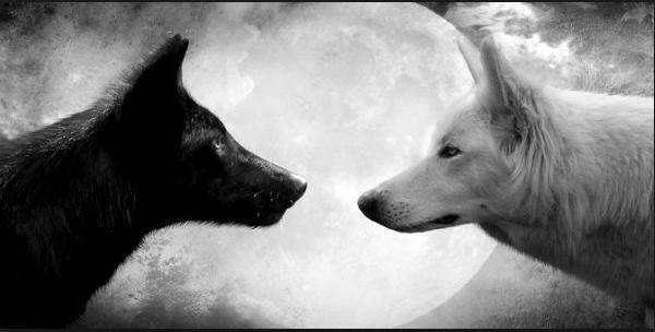 Loup noir, Loup blanc