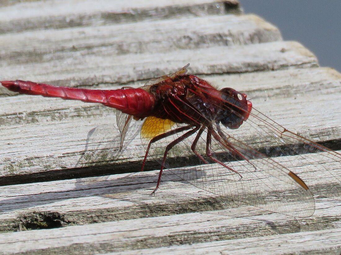 libellules à Hennebont