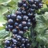 cassis-bio-fruits-en-gelules-bio.jpg