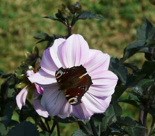 Paon du jour sur dahlia rose