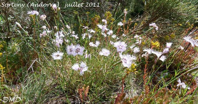 Dianthus hyssopifolius... D. monspessulanus - oeillet de Montpellier