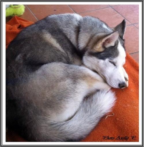 Les 1001 façons de dormir du Husky