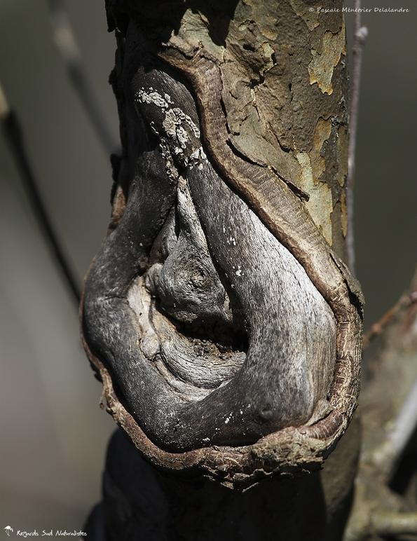 Visage d'un arbre... (Platane)
