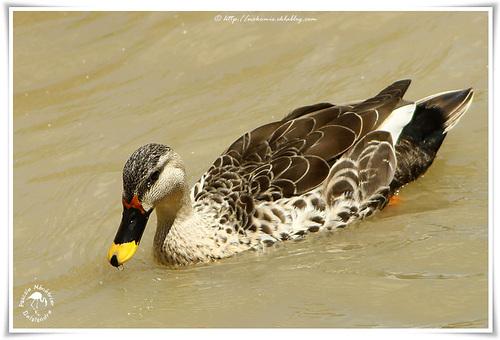 Canard à bec tacheté - Spot-billed Duck - Anas poecilorhyncha