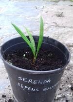 serenoa repens s.p silver