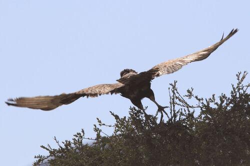 Circaète brun (Brown Snake Eagle)