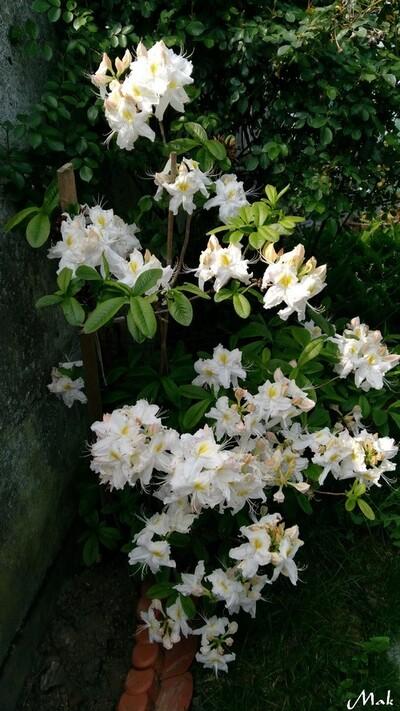 Au  coeur de mon jardin 22 - Azalée de Chine
