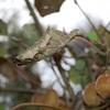 actinidia-Fruitiers-du-jardin